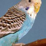 Как выбрать корм для попугаев?
